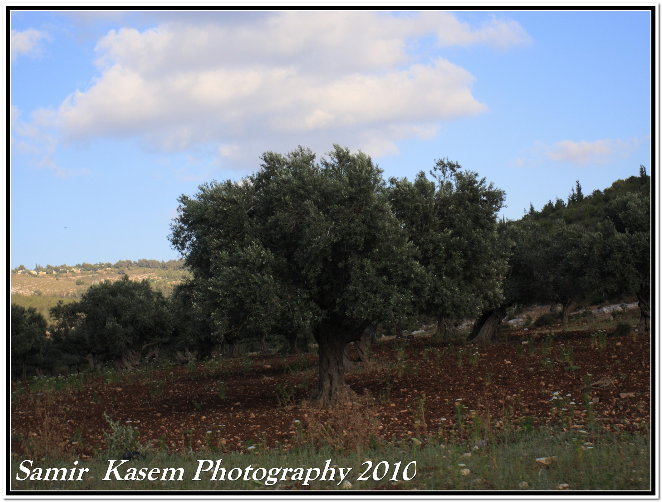 Sha'ab - شعب : Olive groves in Shaab