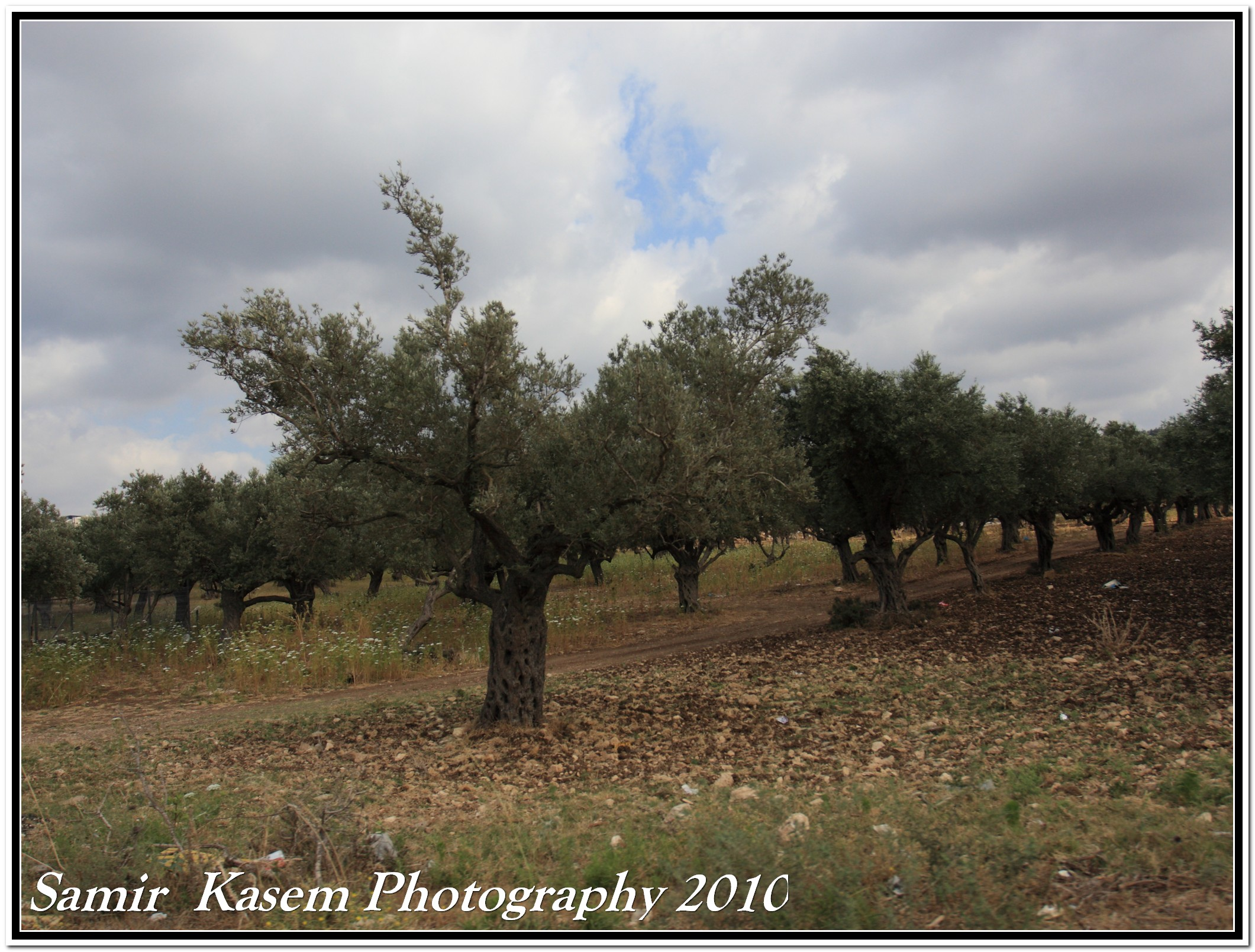Sha'ab - شعب : Olive grove in shaab