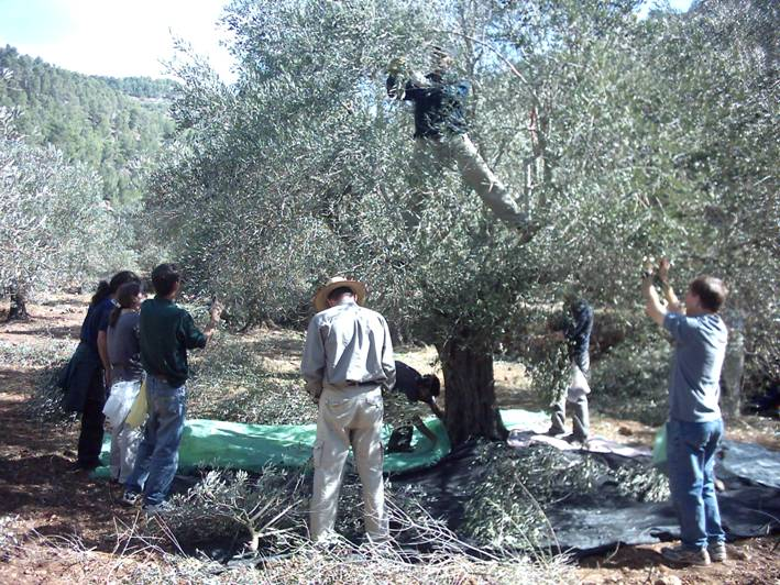 Battir - بتّير : picking olive in Battir