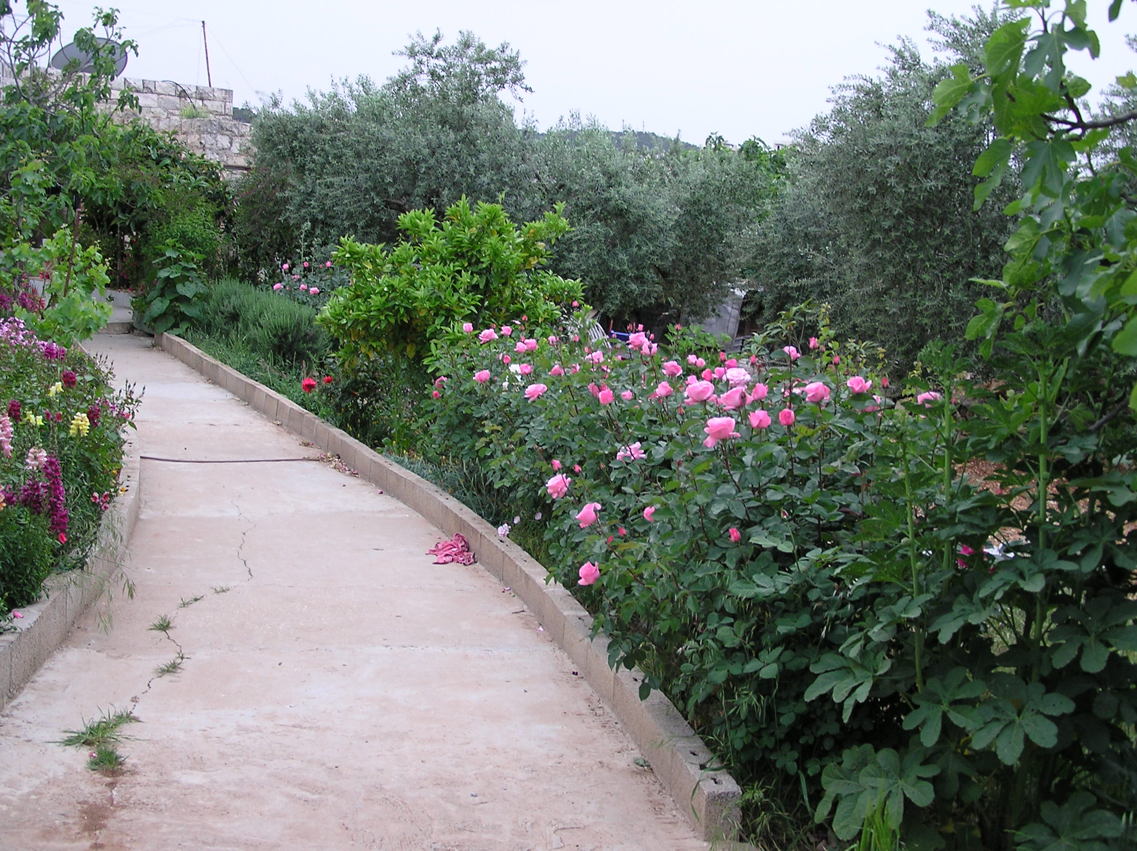 Bayt Safafa - بيت صفافا : Rose Path With Olive Trees In Background