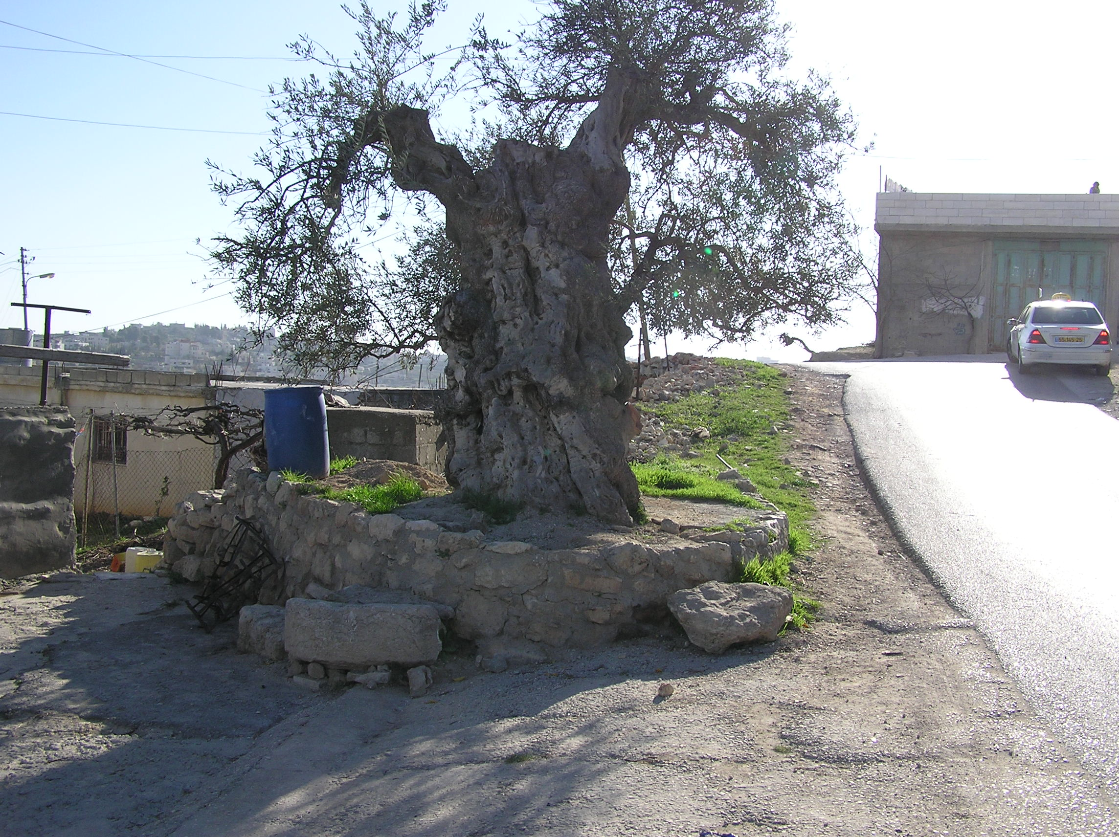 Halhul - حلحول : A 3000 Year Old Olive Tree In Halhul
