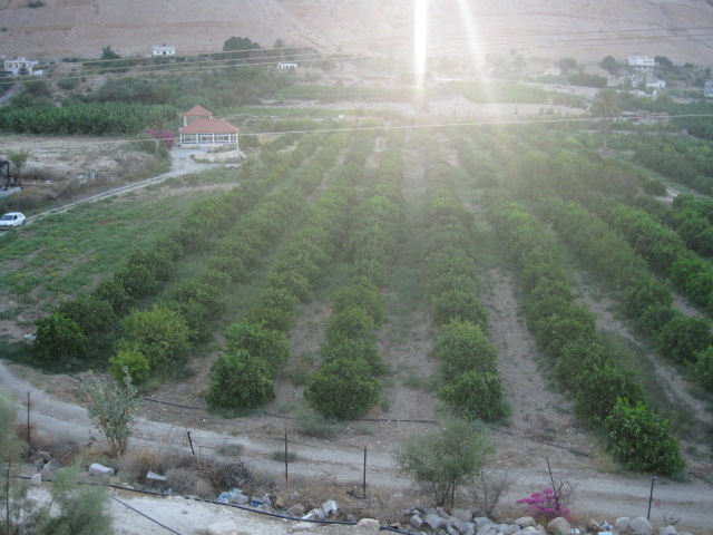 Jericho - أريحا : the valley with orange trees in Jericho beneath the Mount of Temptation - July 2010