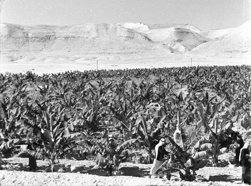 Jericho - أريحا : JERICHO - The Arabs of Jericho and their banana plantations 2, early to mid 20th c.