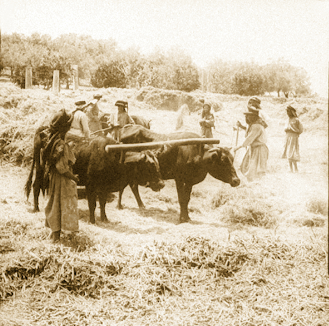 Nablus - نابلس : NABLUS - Late 19th, early 20th c. 51 - Arab farmers in Palestine working in threshing fields outside Nablus, 1890s