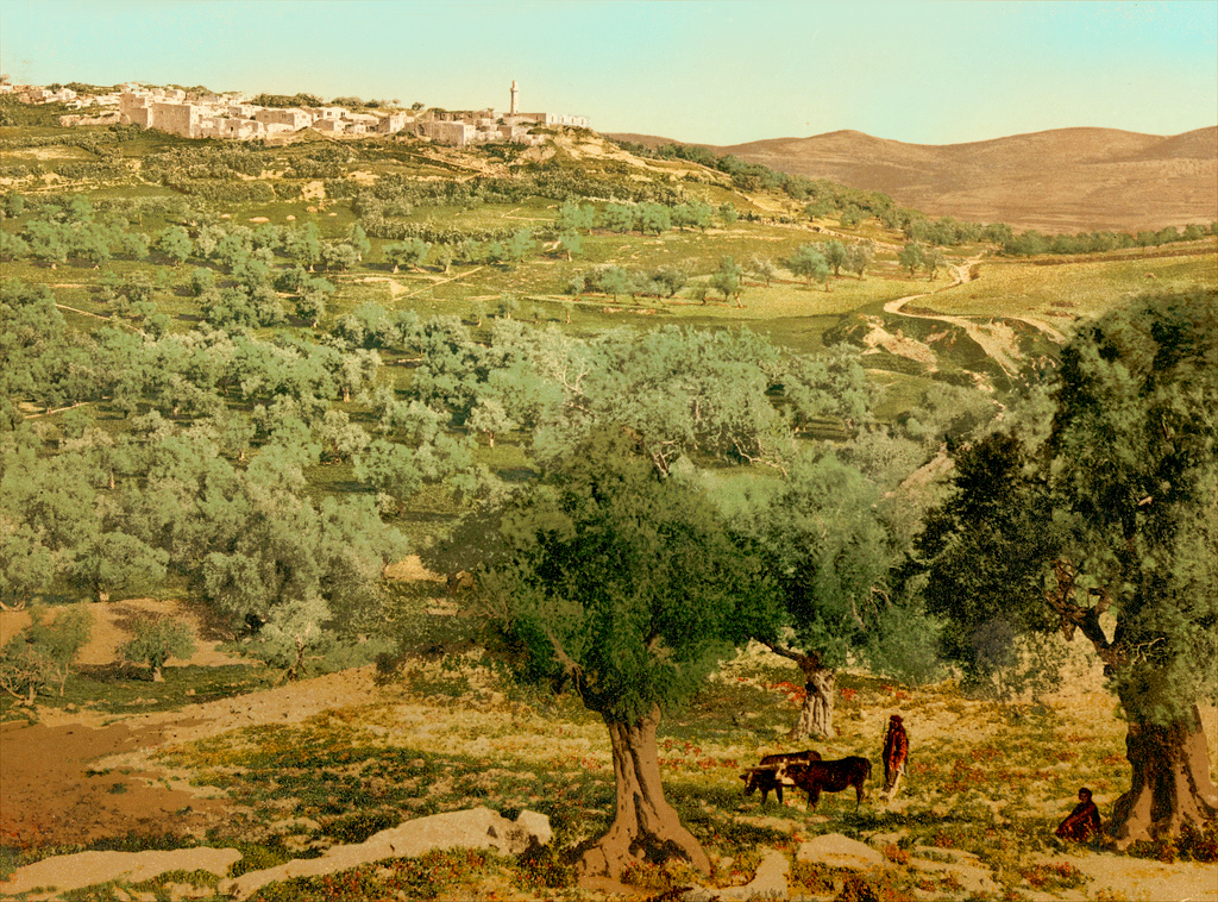 Nablus - نابلس : NABLUS - Late 19th, early 20th c. 114 - The hinterlands nort of Nablus with Sabastia on the hill, circa 1900s (Per Reem Ackall)