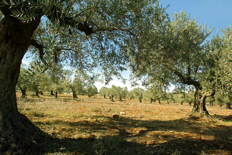 Ramallah - رام الله : Olive Trees of Ramallah 3