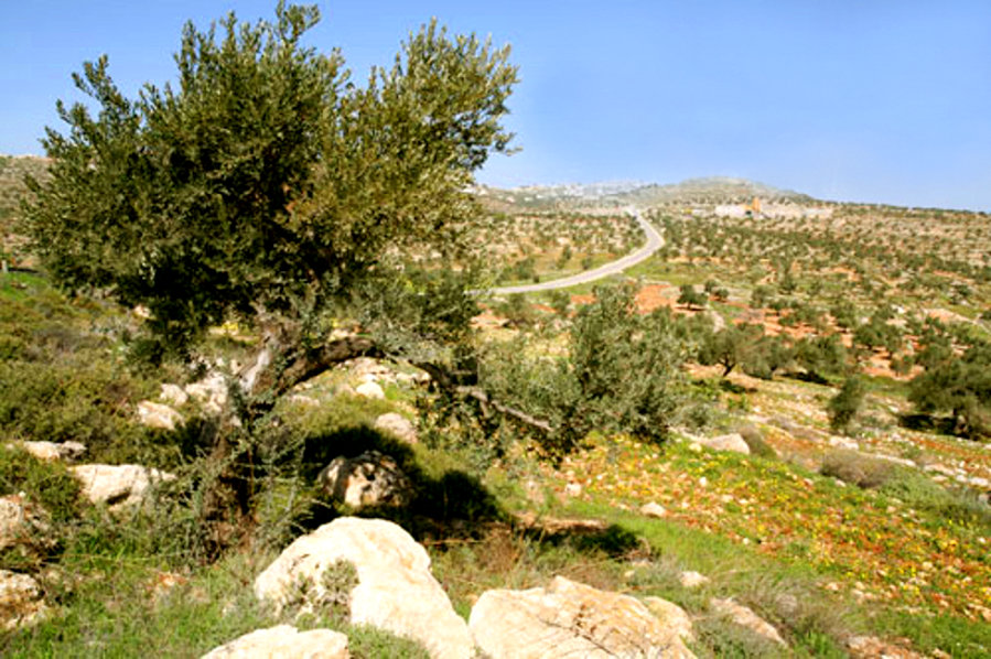 Ramallah - رام الله : Olive Trees of Ramallah 6