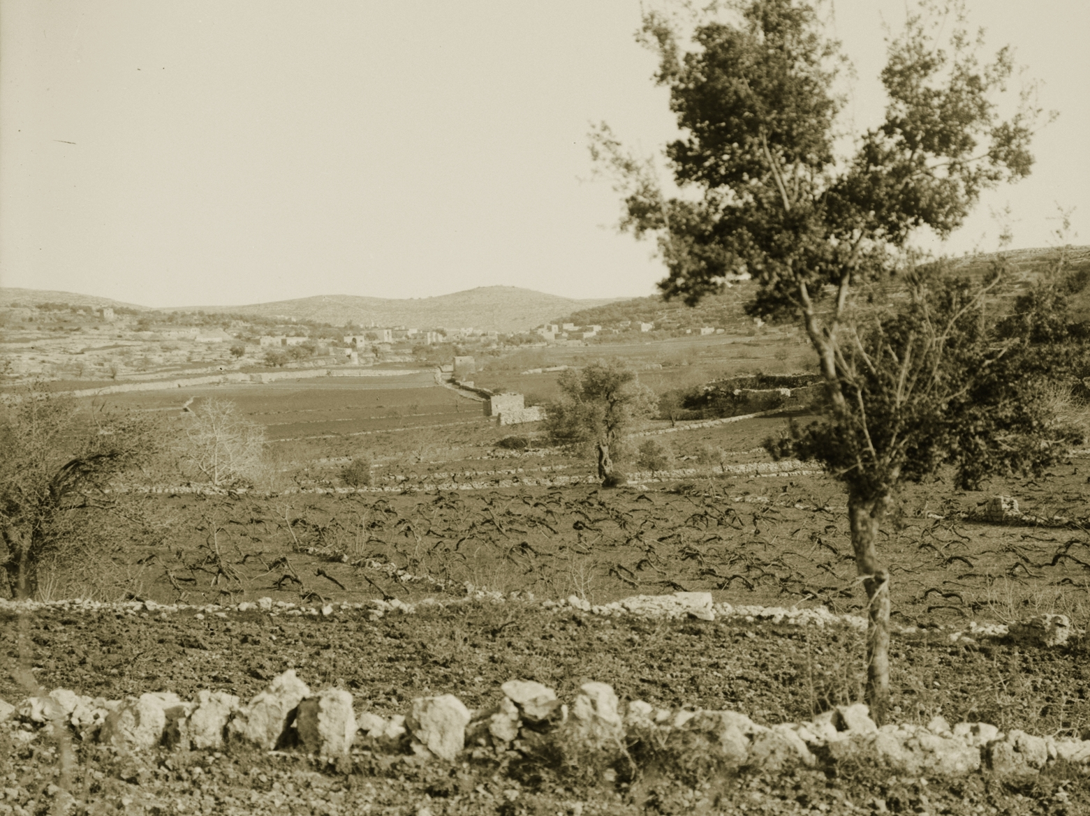 Ramallah - رام الله : Vineyard in winter - Hilly area around Ramallah (Bireh, Taybeh, Ain Yabrud, ..... ???).  1900 - 1920