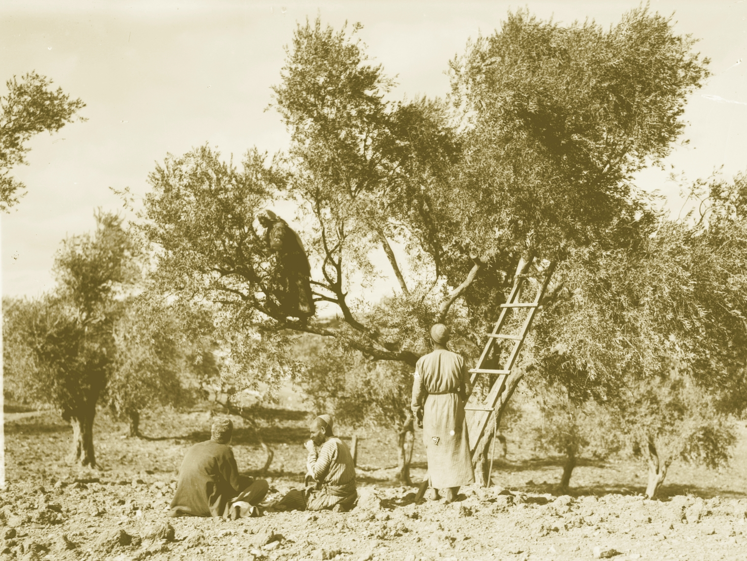 Ramallah - رام الله : RAMALLAH - Harvesting olives, early 20th c.