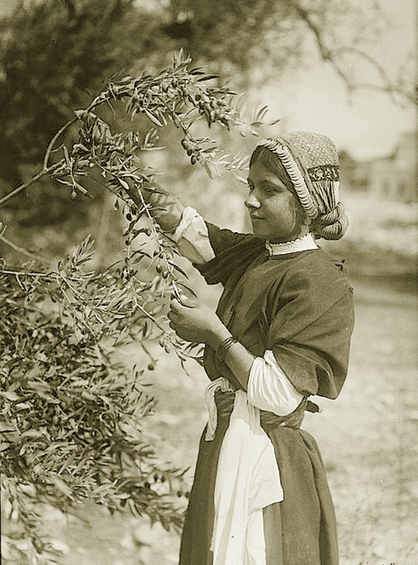 Ramallah - رام الله : RAMALLAH - Maiden picking olives from tree, Ramallah area, early 20th c.