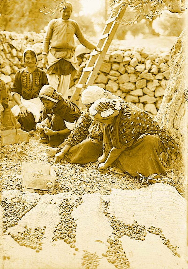 Ramallah - رام الله : RAMALLAH - Villagers from Ramallah area  gathering olives from the ground, early 20th c.