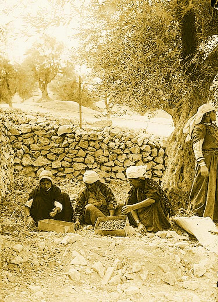 Ramallah - رام الله : RAMALLAH - Villagers from Ramallah region  gathering olives. early 20th c.