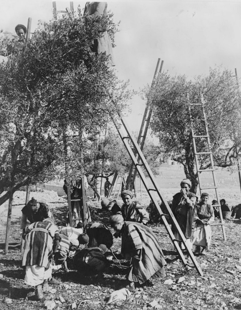 Ramallah - رام الله : RAMALLAH - Harvesting and gathering olives in the Ramallah area, c. 1920s (Matson Collection)