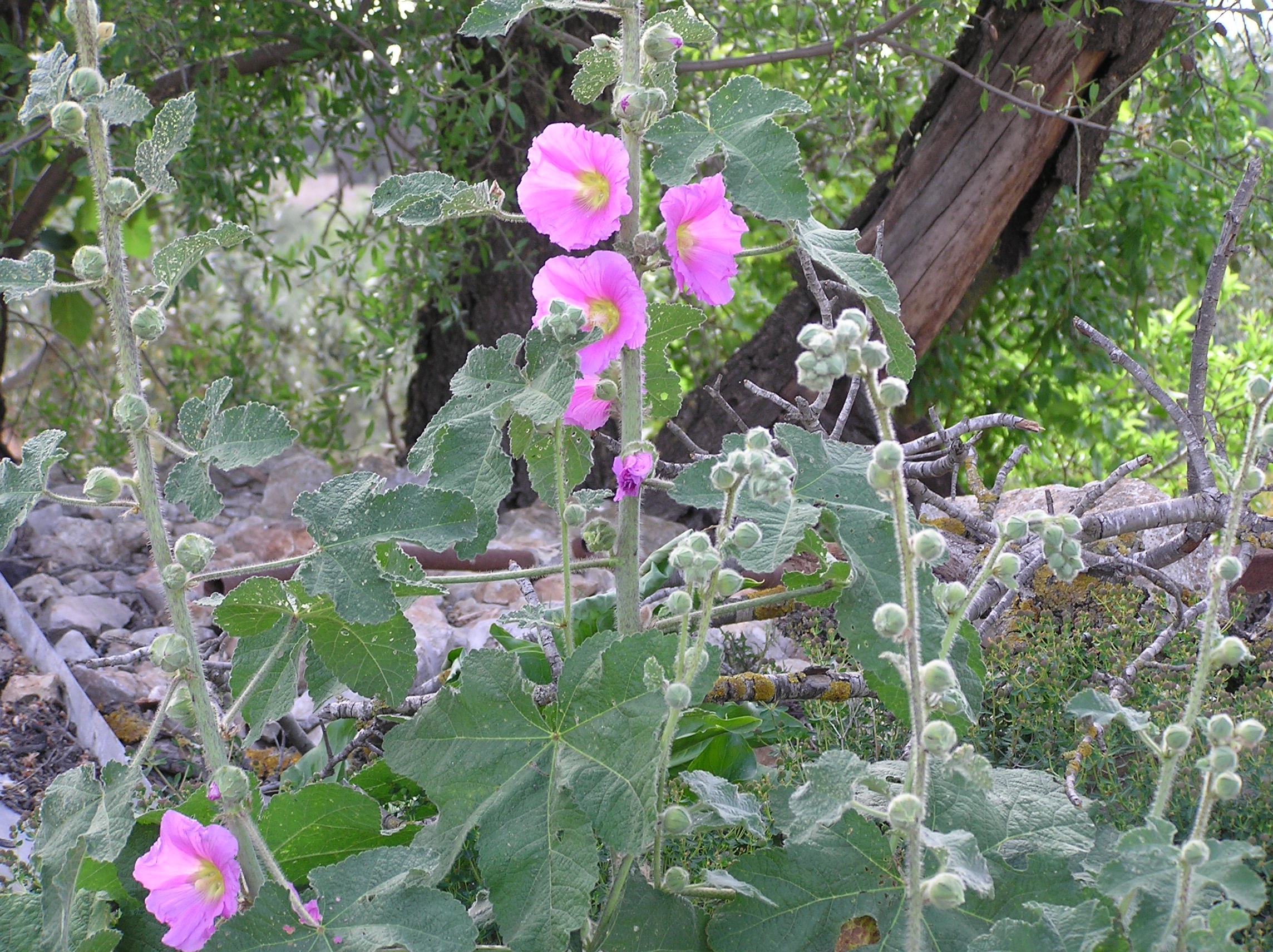Sharafat - شرفات : Wild Hollyhock with Old Almond Tree in Background/ Sharafat