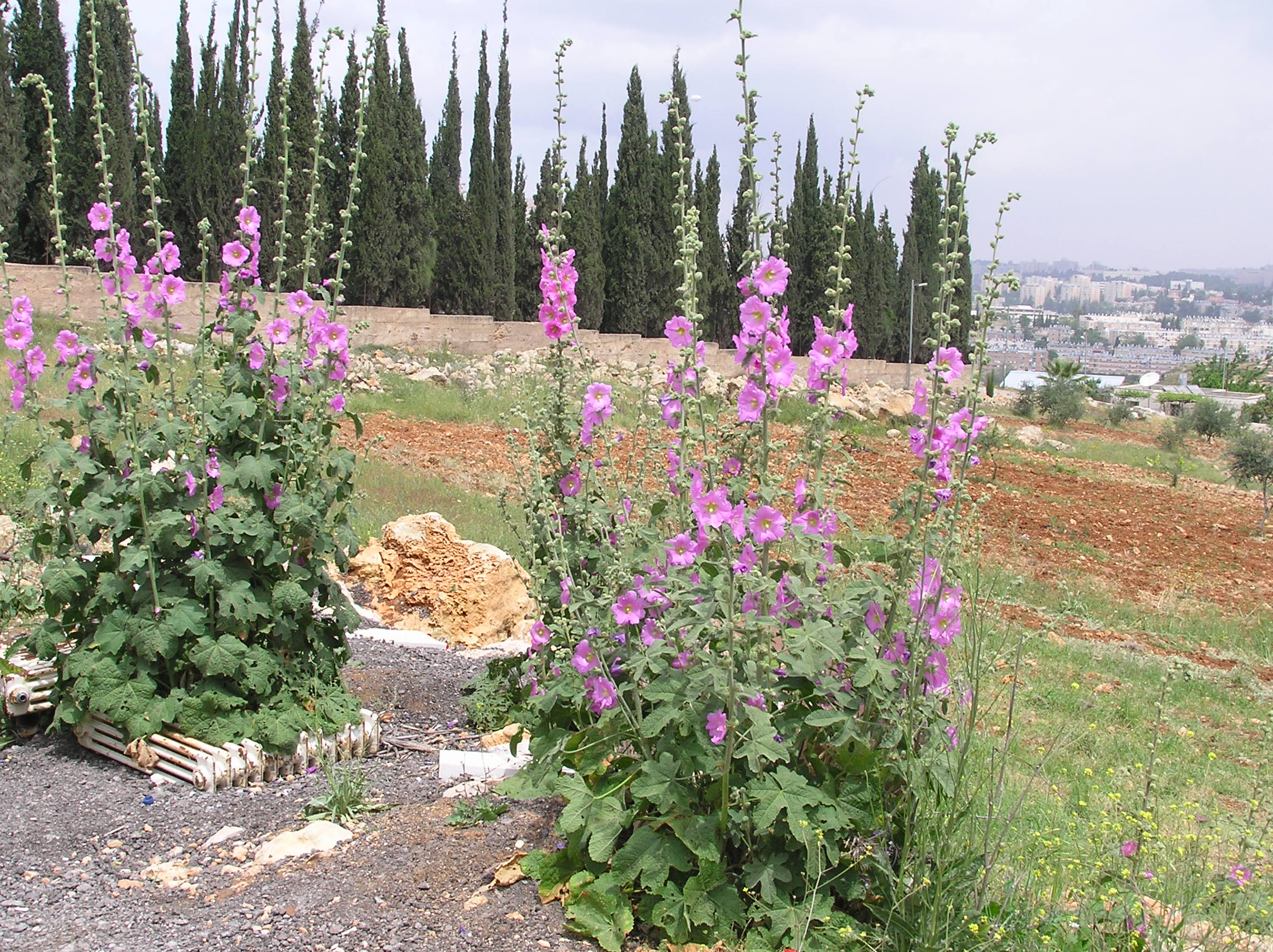 Sharafat - شرفات : Wild Hollyhock In Full Bloom With Al-Alami's Cedars In The Background/Sharaft