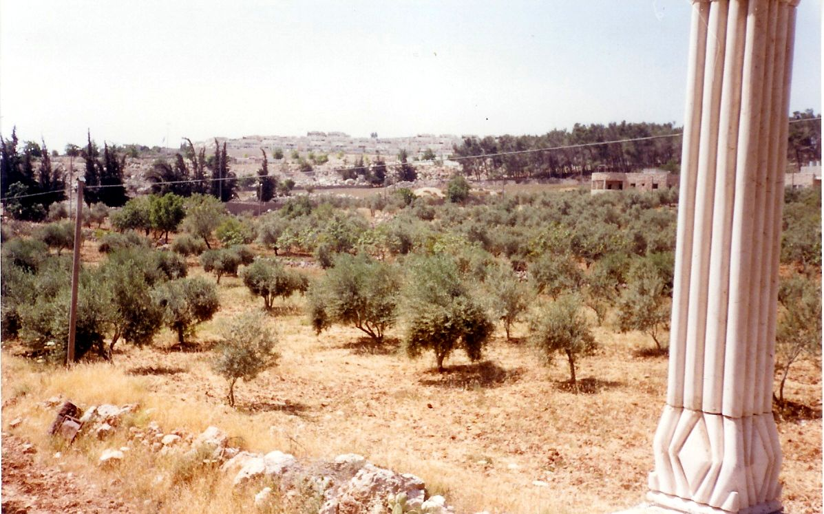 Sharafat - شرفات : An Olive Grove from Balcony View