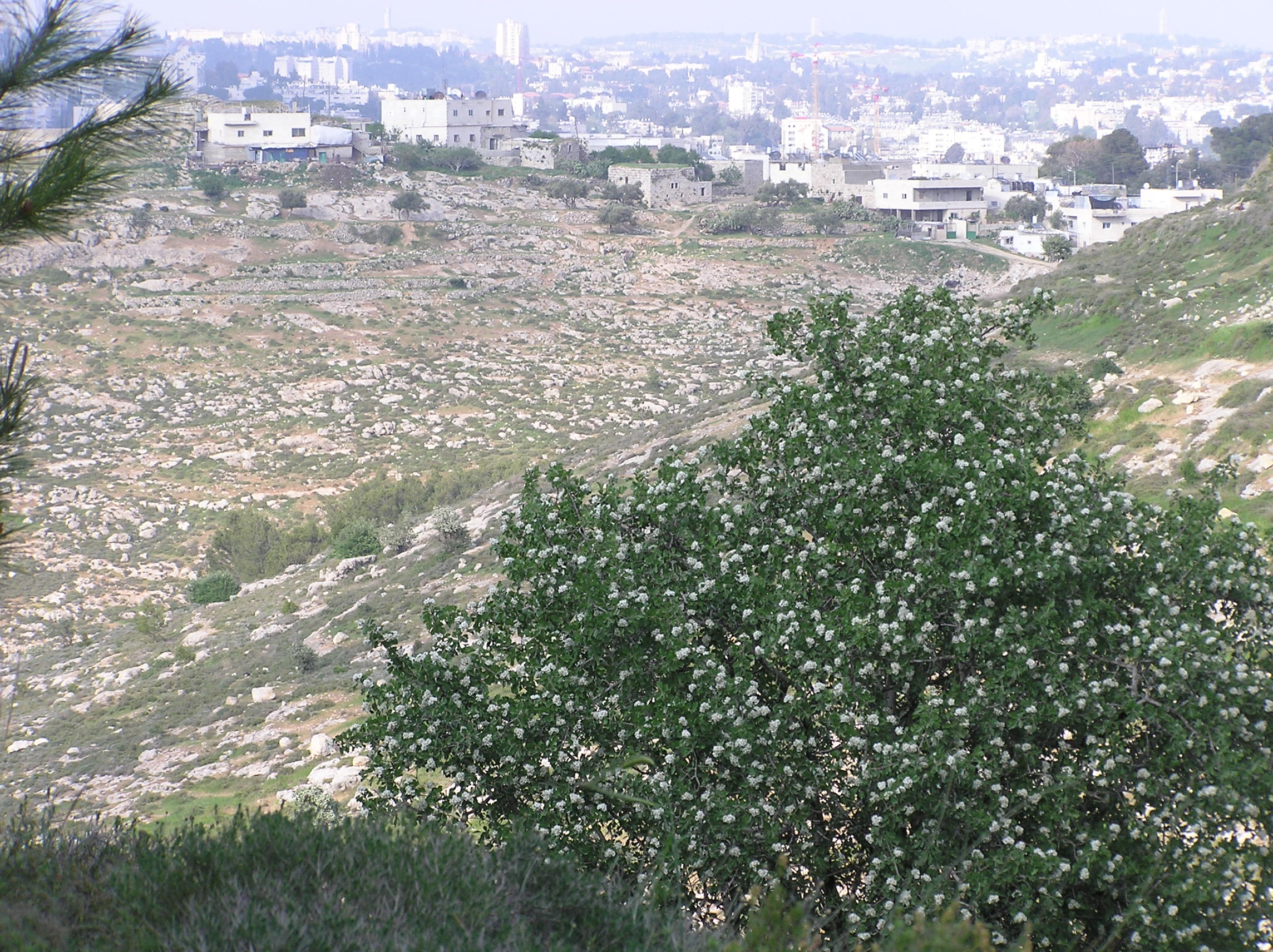 Sharafat - شرفات : A View Of Sharafat From El - Howarah/Khalit El-Taroud Area With Za'aroura In Full Bloom.