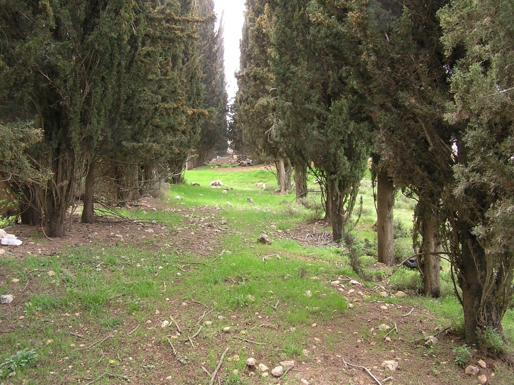 Sharafat - شرفات : El-Alami's  Double Lane Of Cedar / Cypress Trees