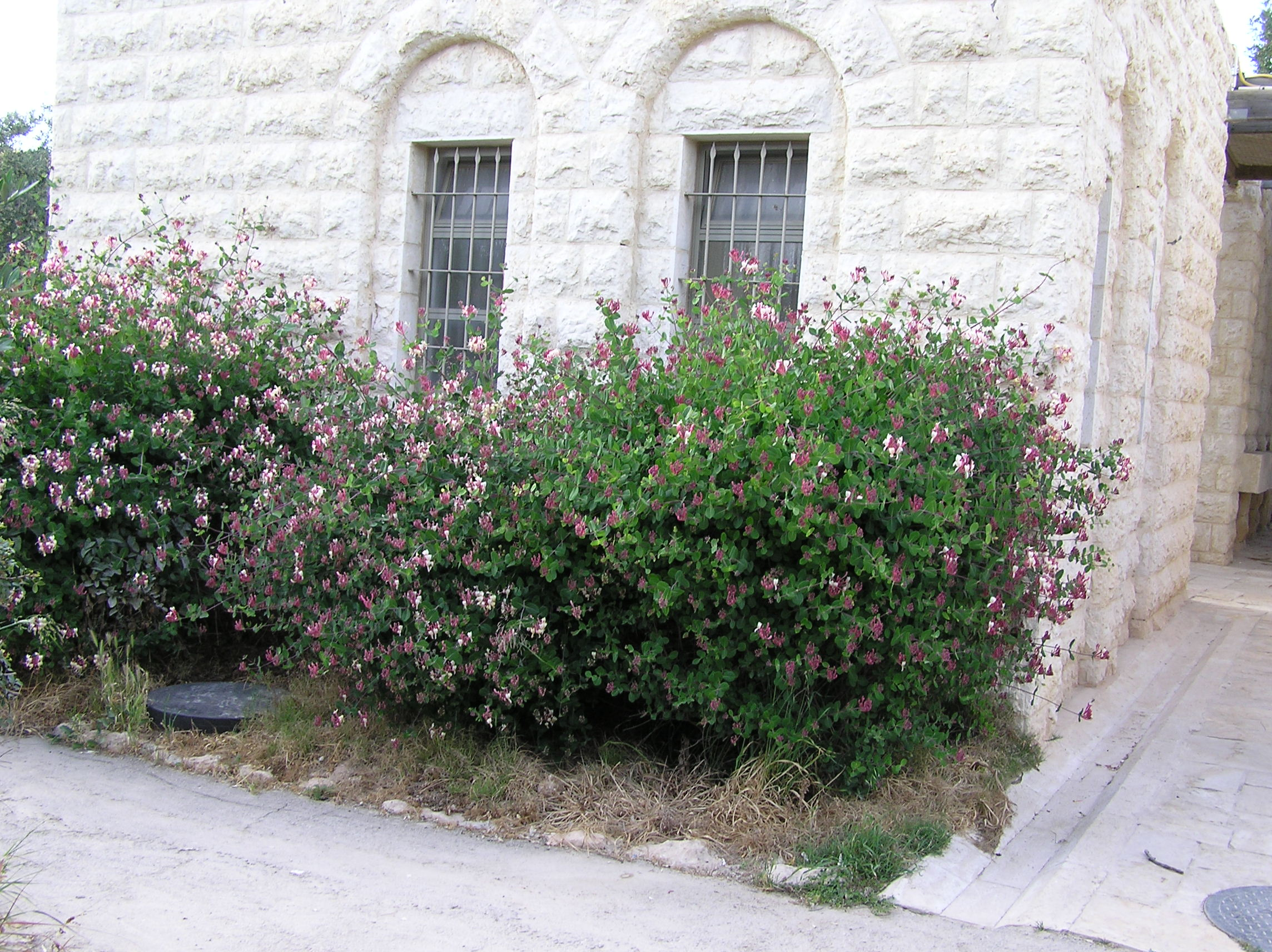 Bayt Jibrin - بيت جبرين : An Israeli looted Palestinian Home With Honeysuckle 'Abhara' In Full Bloom