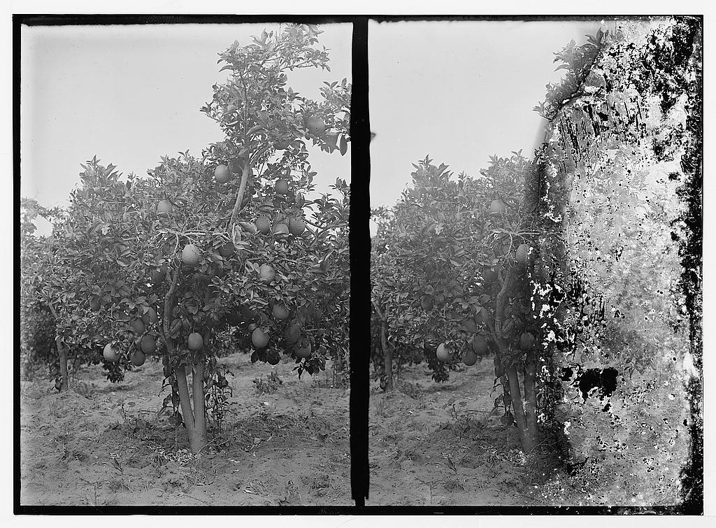 Jaffa - يافا : At the orange Groves. Matson Collection