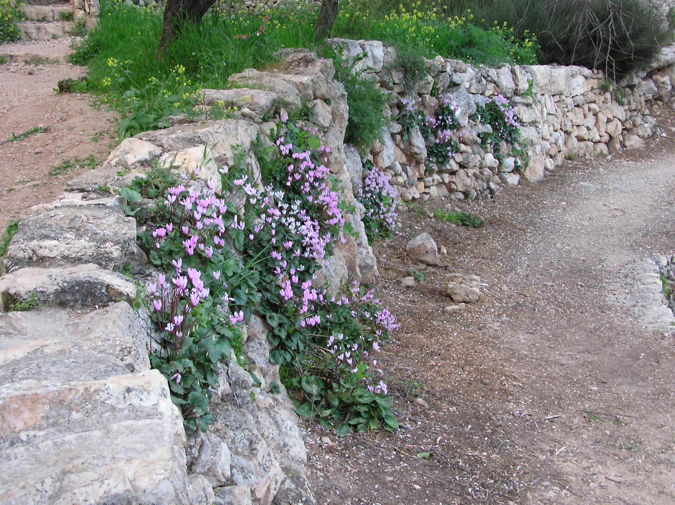 Sataf - صطاف : Sataff's Wild Cyclamen in full bloom