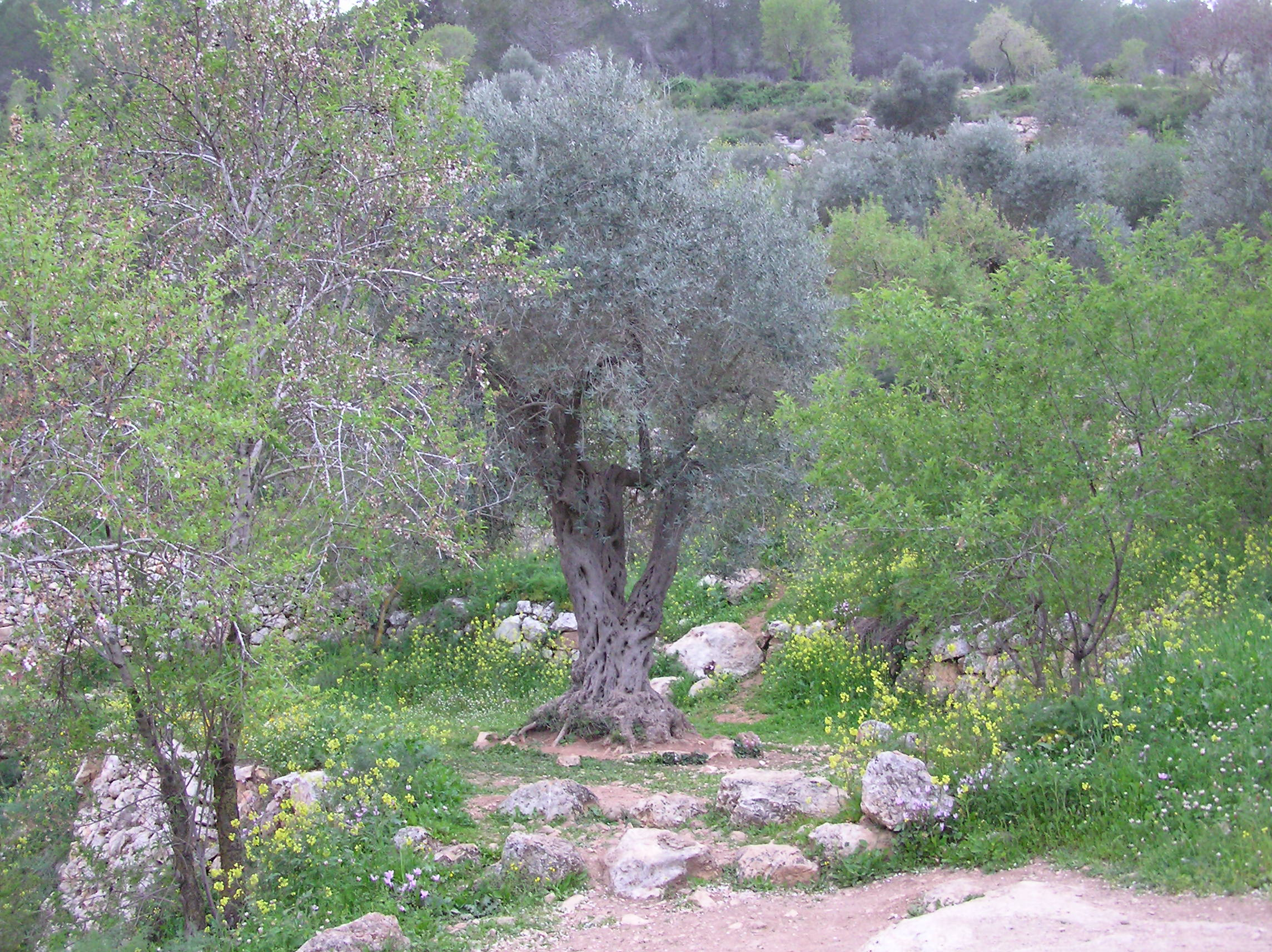 Sataf - صطاف : Sataf's Olive Tree Stands In Silence In Terraces Nearby The Ain.