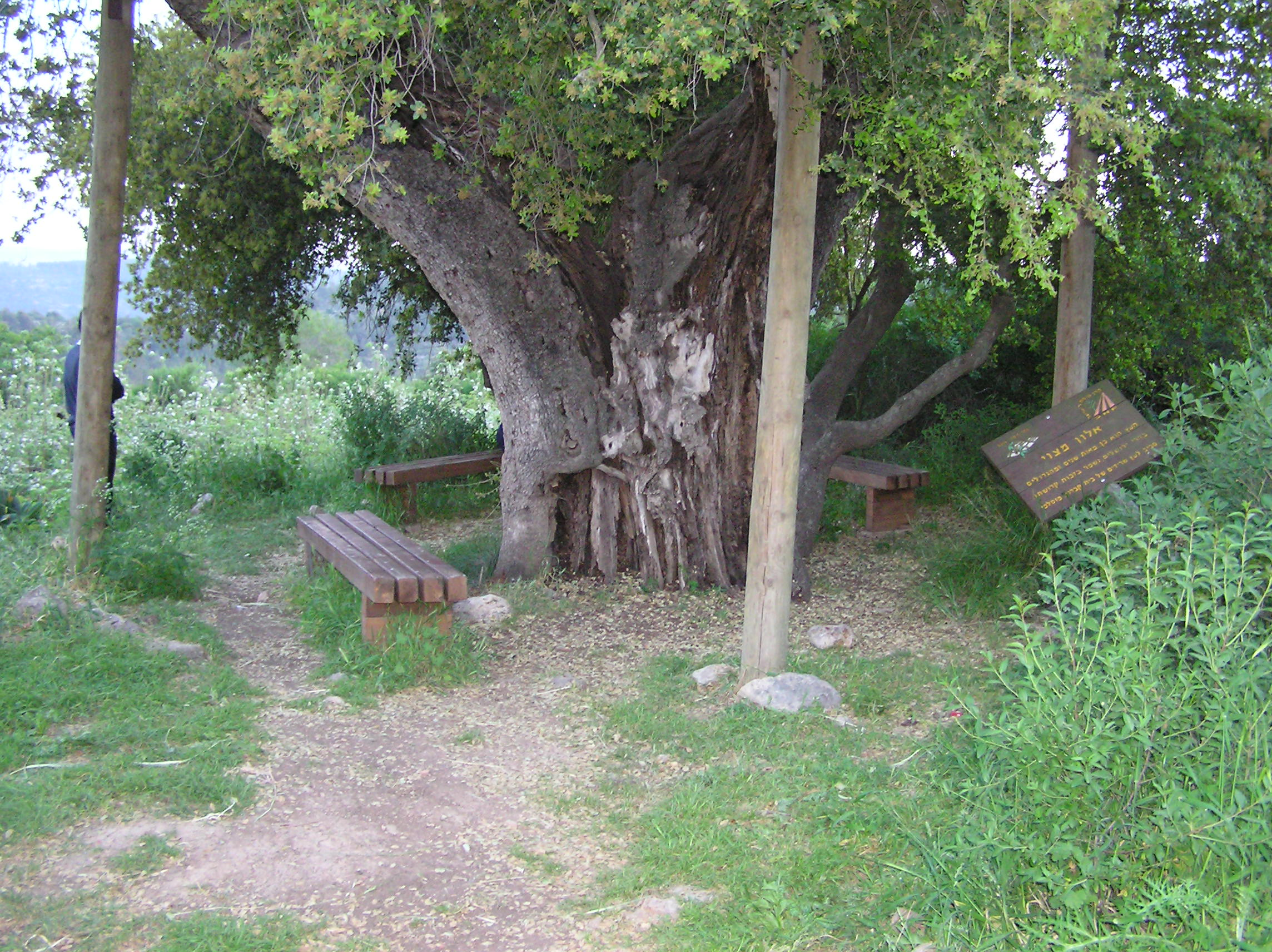 Suba - صوبا : Suba's Ancient Oak Tree (3000 thousand year old) Its Still Standing Next  To The Village Cemetery.