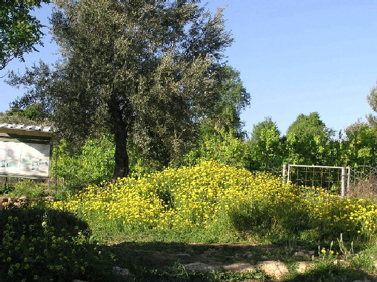 Suba - صوبا : A 1948 Olive tree & a carpet of yellow flowers at Suba's 'Ain' (Spring 2004)
