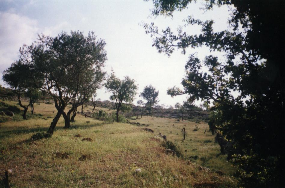 al-Walaja - الولجة : Wish you were here? Olive groves of al-Walaja