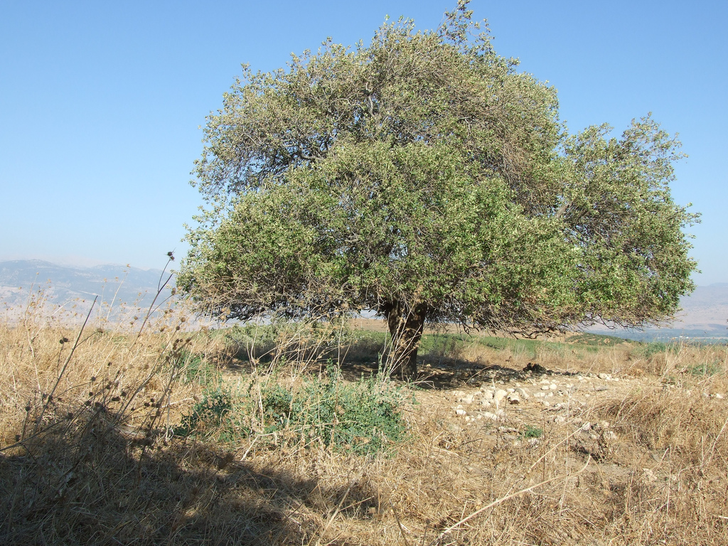Abil al-Qamh - آبل القمح : A large tree on the southern part of the hill