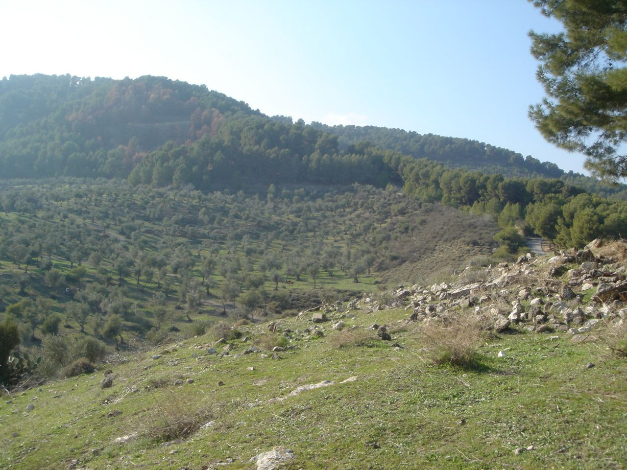 Qabba'a - قبّاعة : Olive trees with some rubble of houses on the right