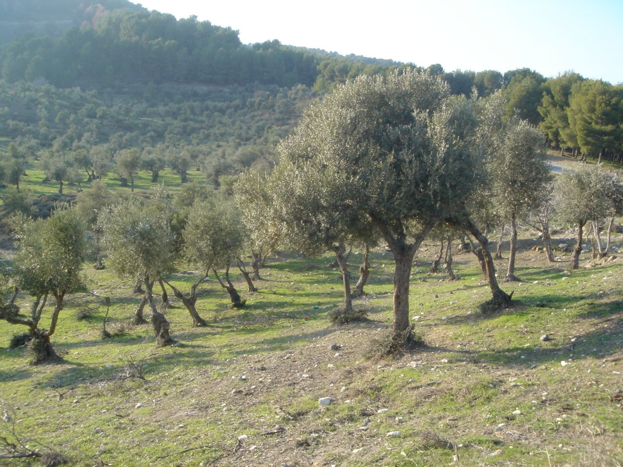 Qabba'a - قبّاعة : View of olive trees facing away from Galilee
