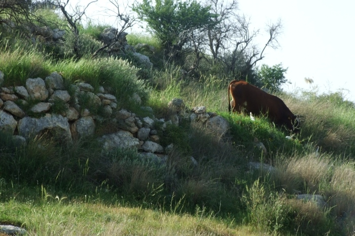 Barfiliya - برفيلية : Cultivation brders and a cow - the area is used for grazing
