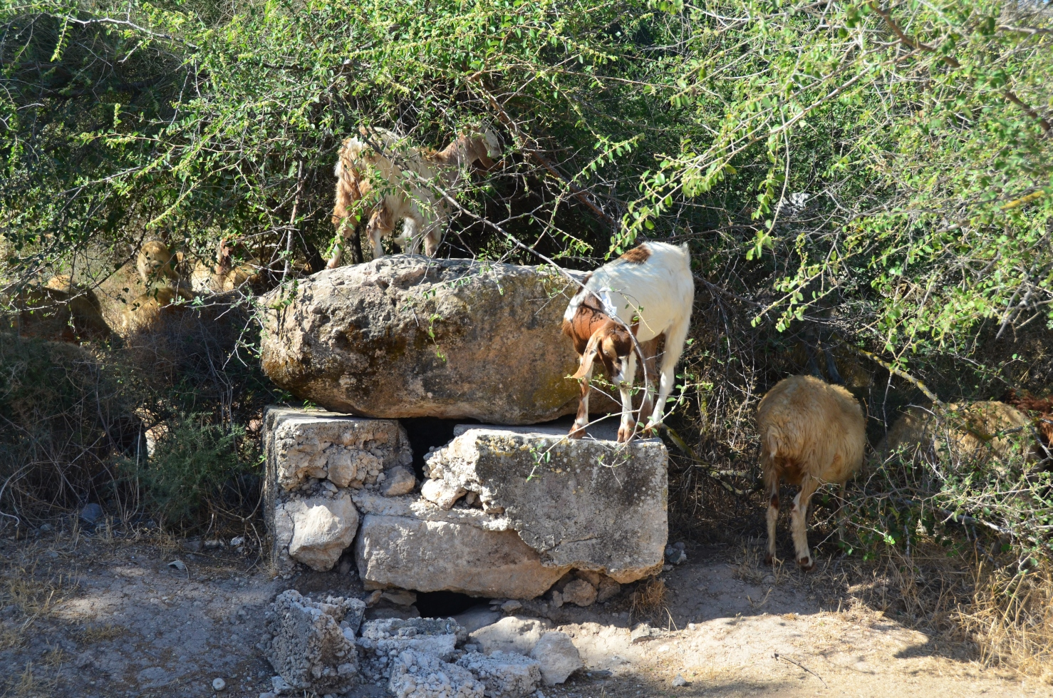 al-Haditha - الحديثة : Sheep and goats of a refugee from Khalsa (Safad subdistrict)